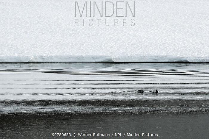Long-tailed ducks (Clangula hyemalis) Varanger Peninsula, Norway, June.