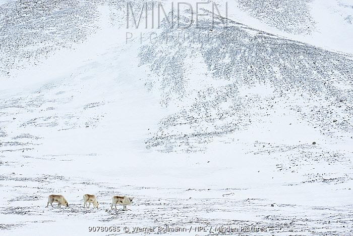 Svalbard reindeer (Rangifer tarandus platyrhynchus)  Hotellneset, Svalbard, Norway, March 2014.