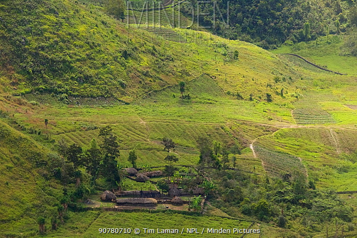 Traditional Baliem valley village compound called a 'honai'. Western New Guinea
