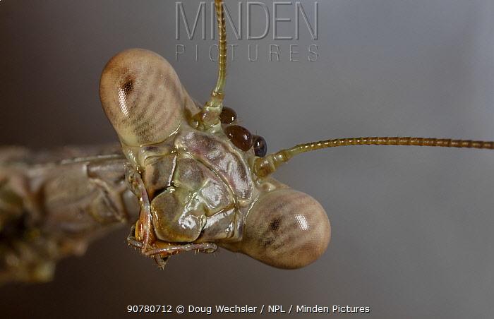 Carolina mantis (Stegmomantis carolina) face portrait, Philadelphia, USA