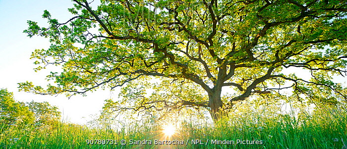 Panoramic of Oak tree (Quercus robur) with low sun, Oland, Sweden, May.