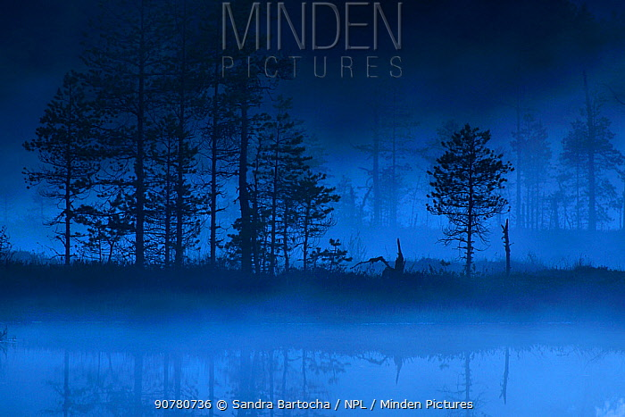 Forest at edge of bog at dusk, Knuthojdsmossen, Sweden, June.