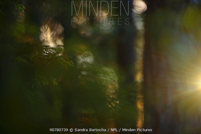Sunlight shining in Spruce (Picae sp) forest, Hallefors, Sweden