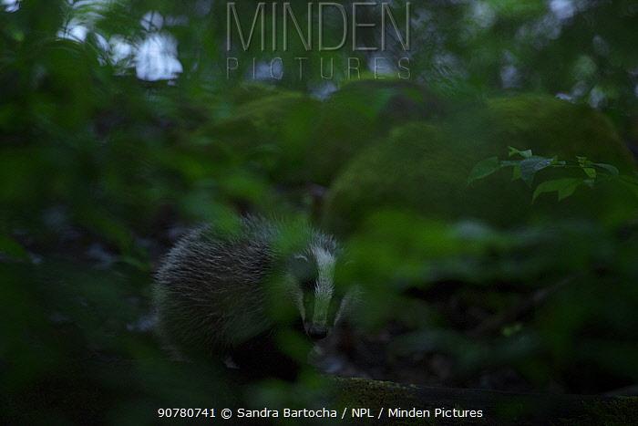 European badger (Meles meles) in forest, Bjorkskogsnas, Sweden, June.