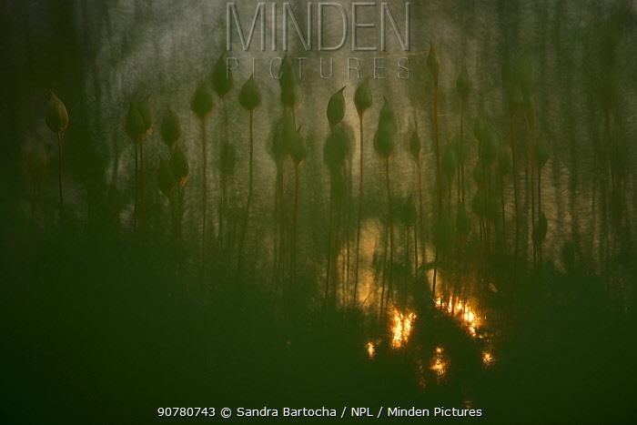 Haircap moss (Polytrichum) with bokeh effect, Karlskuga, Sweden , June.
