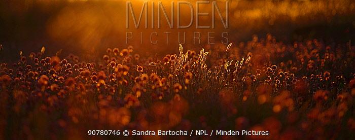 Vanilla grass (Hierochloe odorata)  and Wild chives (Allium schoenoprasum) at sunset, Oland, Sweden, June.