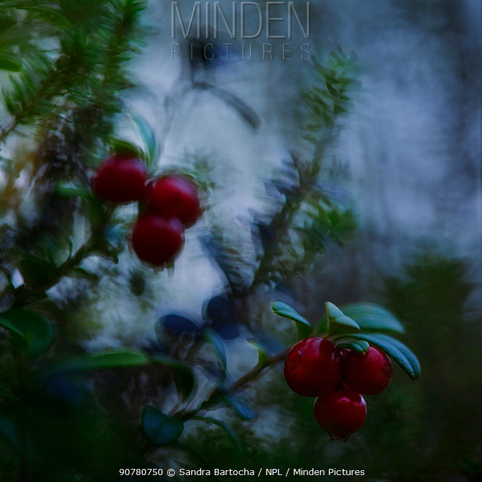 Abstract view of Lingonberries (Vaccinium vitis-idaea) Oulanka NP, Finland, September.
