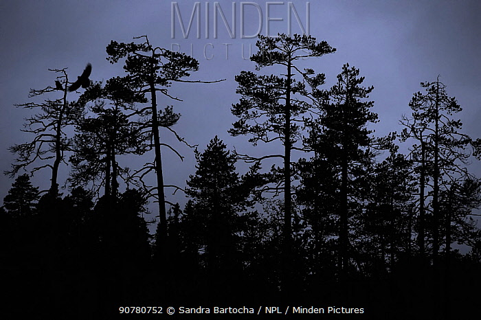 Ravens (Corvus corax), Lentiira, Finland. September.