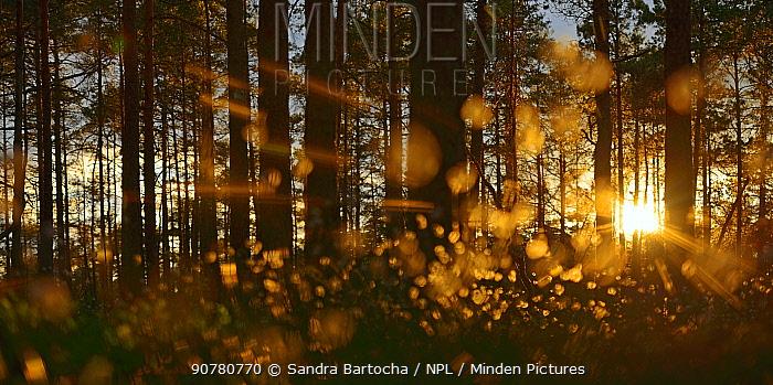 Cotton grass (Eriophorum angustifolium) and Pine trees (Pinus sp) Store Mosse NP, Sweden, May.