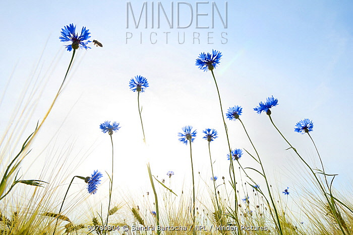 Low angle view of Cornflowers (Centaurea cyanus) Seeland, Denmark