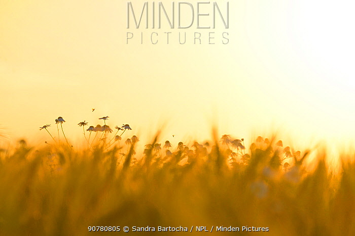Barley field (Hordeum vulgare) with Camomile (Matricaria chamomilla) flowers at sunset, Gotland, Sweden