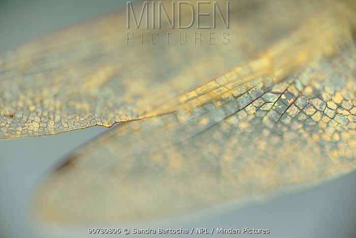 Close up of dragonfly wings,  Gotland, Sweden, August.