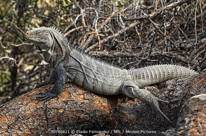 Ricord's iguana (Cyclura ricordi) male basking in the sun, Isla Cabritos, Lago Enriquillo, Dominican Republic.