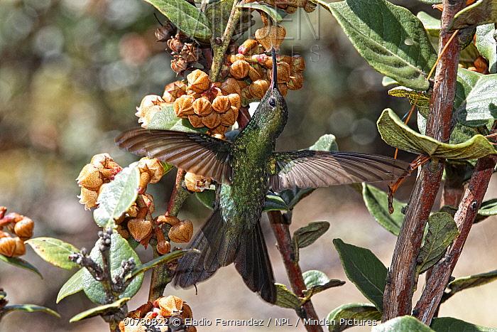 Hispaniolan emerald (Chlorostilbon swainsonii) feeding from flowers, Valle Nuevo National Park, Dominican Republic.