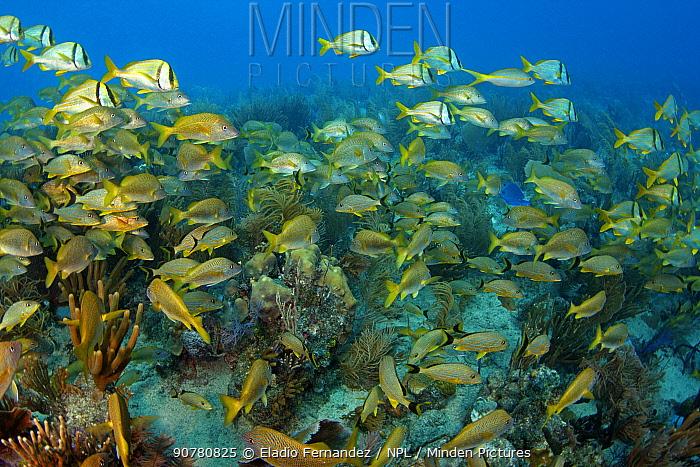 Coral reef with mixed shoal of fish including Porkfish (Anisotremus virginicus), Bluestriped grunt (Haemulon sciurus), Jardines de la Reina, Cuba