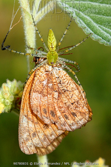 Green spider (Peucetia viridans) with Variegated fritillary (Euptoieta claudia) Dominican Republic.