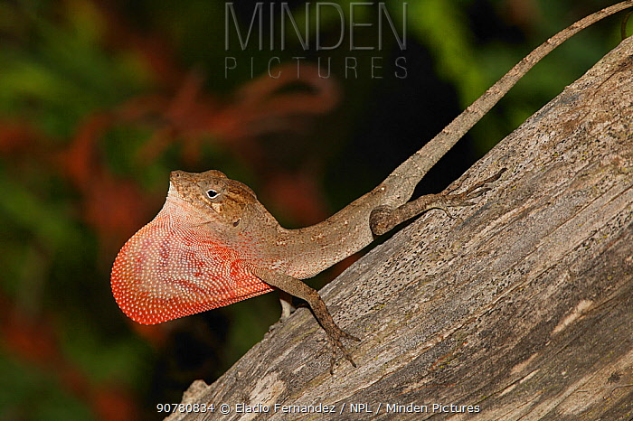 Red-fanned Stout anole (Anolis marcanoi) displaying its red dewlap, Cordillera Central, Dominican Republic.