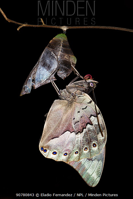 One-spotted prepona butterfly (Archeoprepona demophon). captive, occurs in Central and South America. Sequence 7 of 7