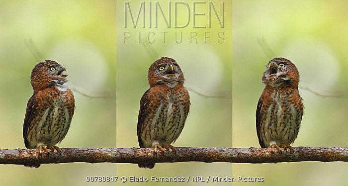 Cuban pygmy owl (Glaucidium siju) calling, sequence. La Gran Piedra National Park, Santiago, Cuba.
