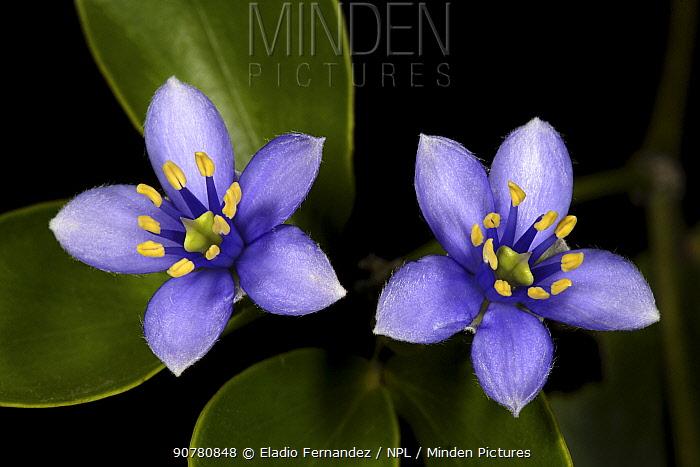 Roughbark lignum-vitae (Guaiacum officinale) flowers in Hellshire Hills, Jamaica.