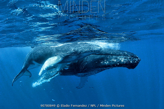 Humpback whale (Megaptera novaeangliae) mother and calf at the Silver Bank, Dominican Republic