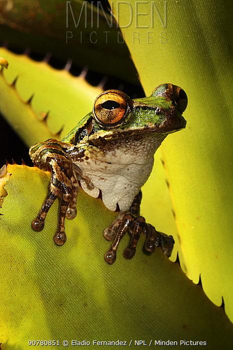 Cuban tree frog (Osteopilus septentrionalis) sitting inside Bromeliad, Sierra Maestra National Park, Cuba.