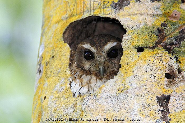 Cuban bare-legged owl (Margarobyas lawrencii) in nest hole, Cienaga de Zapata Biosphere Reserve, Cuba.
