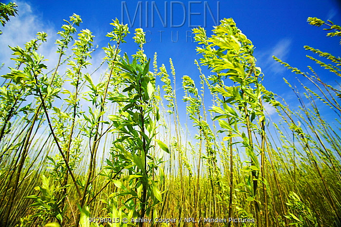 Willow trees (Salix sp) planted as a biofuel crop at  E.ON biofuel power station, Lockerbie, Scotland. The power station is fuelled by wood sourced from local woodlands and generates enough electricity to supply 70,000 houses.