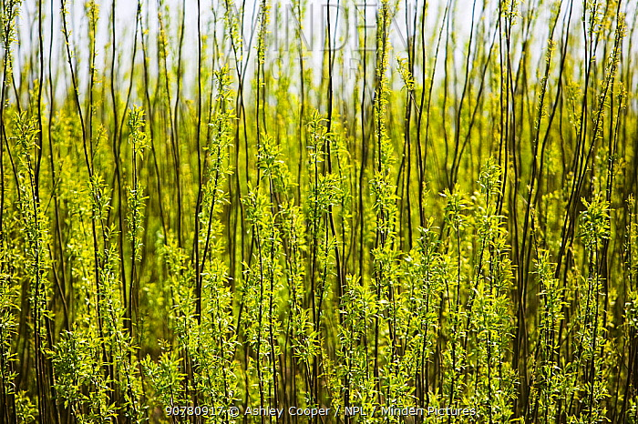 E.ON's biofuel power station in Lockerbie, Scotland with Willow trees (Salix sp,) planted as a biofuel crop. The power station is fuelled 100 by wood sourced from local woodlands and generates enough electricity to supply 70 000 houses. Scotland, UK, April.
