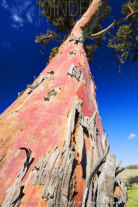 Eucalyptus tree in the Snowy mountains, Australia. February.