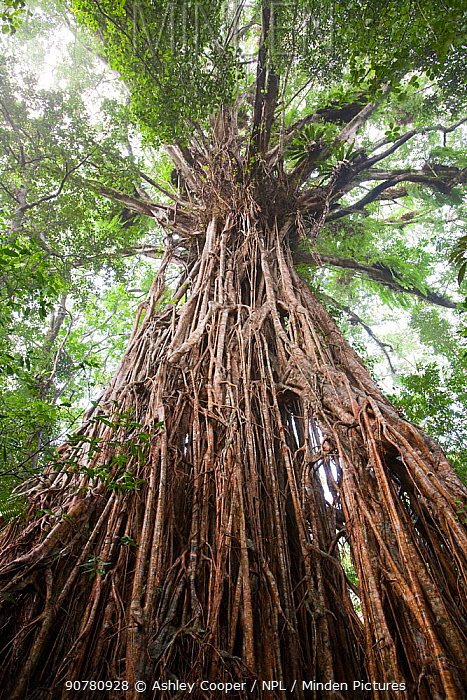 The Cathedral Fig Tree, a massive Green fig tree (Ficus virens) in the Daintree Rainforest on the Atherton Tablelands, Queensland, Australia. February.