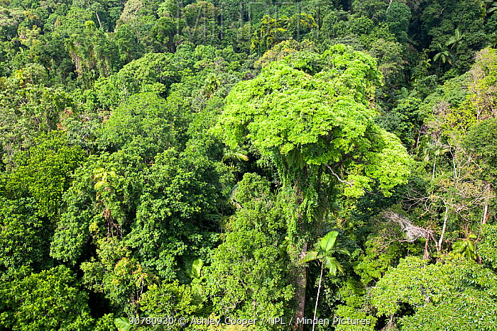 Forest canopy of the Daintree rainforest in northern Queensland, Australia, February 2010.
