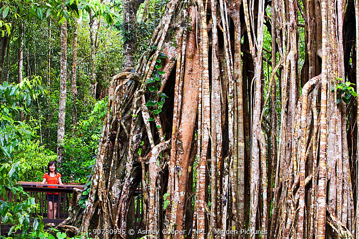 The Curtain Fig Tree, a massive Green fig tree (Ficus virens) in the Daintree Rainforest on the Atherton Tablelands, Queensland, Australia.