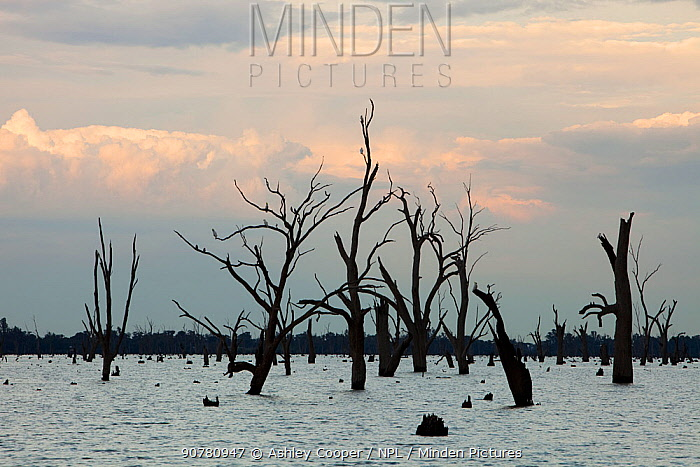 Lake Mulwala at Yarrawonga was created when the Murray River was dammed to provide irrigation water for surrounding farmland. The drought which lasted between 1996-2011 meant that the trees that were killed when they were first drowned are now increasingly revealed as the lake levels drop. Victoria, Australia. February 2010.