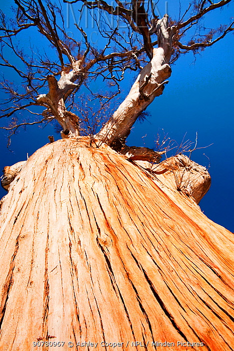 Eucalyptus trees killed by the drought which lasted from 1996-2011, Lake Eucumbene,  New South Wales, Australia.