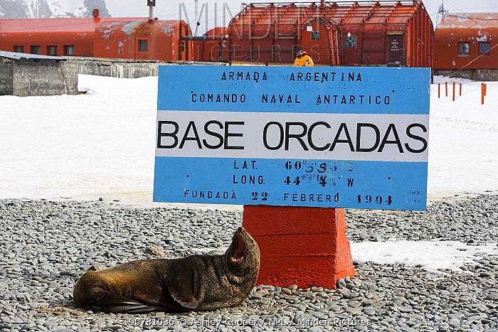 Antarctic fur seals (Arctocephalus gazella) at Base Orcadas which is an Argentine scientific station in Antarctica. Laurie Island,  South Orkney Islands, Antarctic Peninsula.