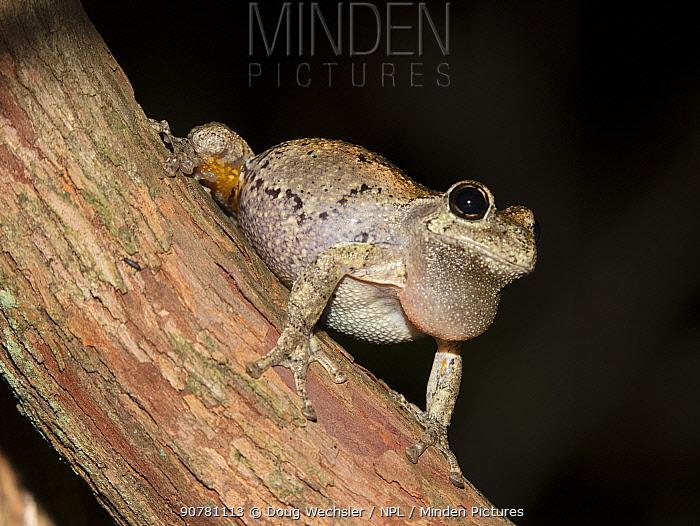 Cope's gray treefrog (Hyla chrysoscelis) calling, Blackbird State, Forest, Delaware, USA, May.