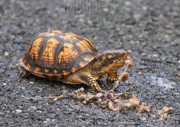 Eastern box turtle (Terrepene carolina) eating road kill amphibian; New Jersey, USA, May.