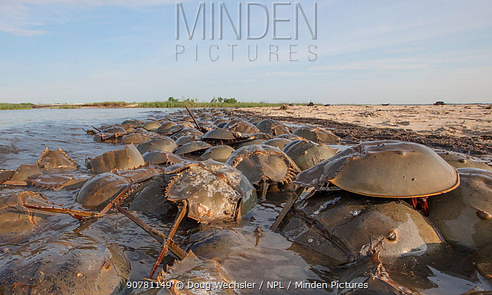 Horseshoe crabs (Limulus polyphemus) spawning on the beach; Moore's Beach  Delware Bay, New Jersey, USA, June.