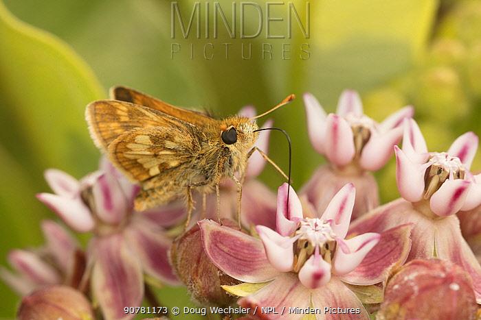 Peck's skipper butterfly (Polites peckius) feeding on flowers, Crossways Preserve Montgomery County, Philadelphia, Pennsylvania, USA, June.