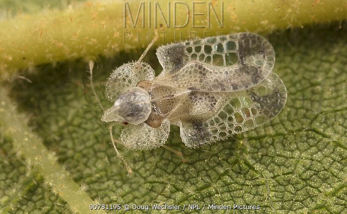 Walnut lace bug (Corythuca juglandis) on Manchurian Walnut leaf; Morris Arboretum, Philadelphia, Pennsylvania, USA, August.