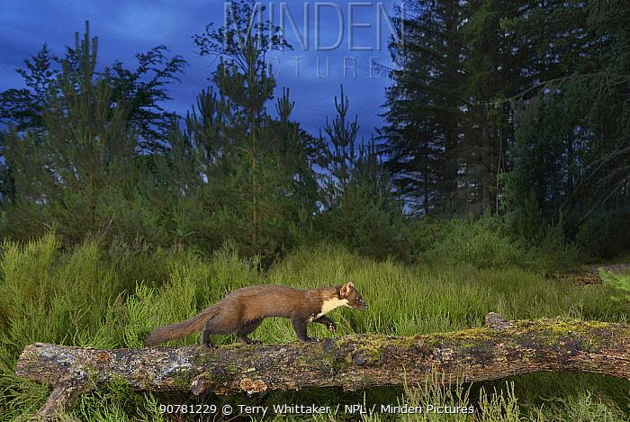 Pine marten (Martes martes), Black Isle, Scotland, UK. June. Taken with camera trap.
