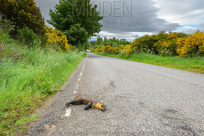 Pine marten (Martes martes) male killed on road.  Black Isle, Scotland, UK. June 2017.