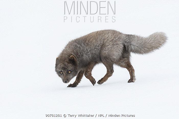 Arctic fox (Vulpes lagopus) male, blue colour morph. Hornstrandir Nature Reserve, Iceland. March