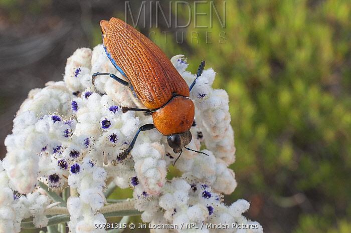 Giant jewel beetle (Julodimorpha saundersii) male feeding on Lambswool (Lachnostachys eriobotrya) flowers, Western Australian endemic species.