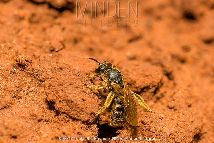 Green furrow bee (Lasioglossum morio) female sunbathing outside nest burrow, Monmouthshire, Wales, UK, August.