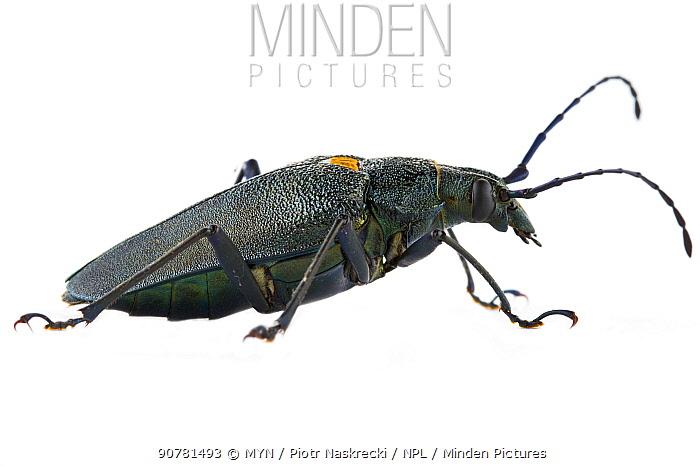 Long-horned beetle (Cerambycidae) Costa Rica. meetyourneighbours.net project