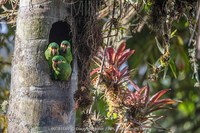 Yellow-plumed parakeets (Leptosittaca branickii) at nest cavity in wax palm tree stump, Tapichalaca Biological Reserve, Ecuador.
