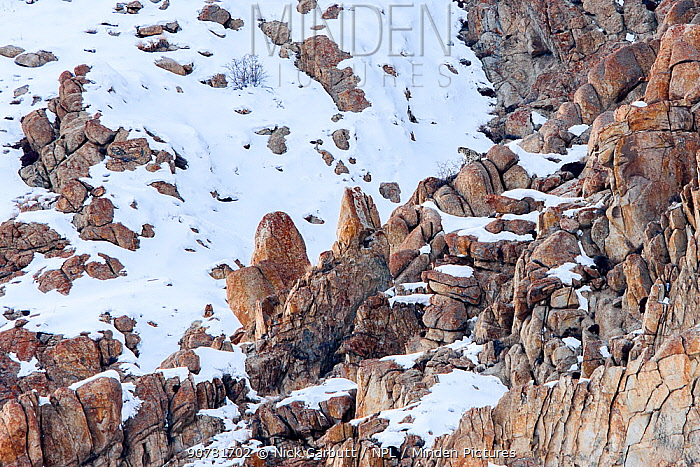 Snow leopard (Panthera uncia) male on snow covered slopes from a rocky outcrop. Ulley Valley, Himalayas, Ladakh, India.
