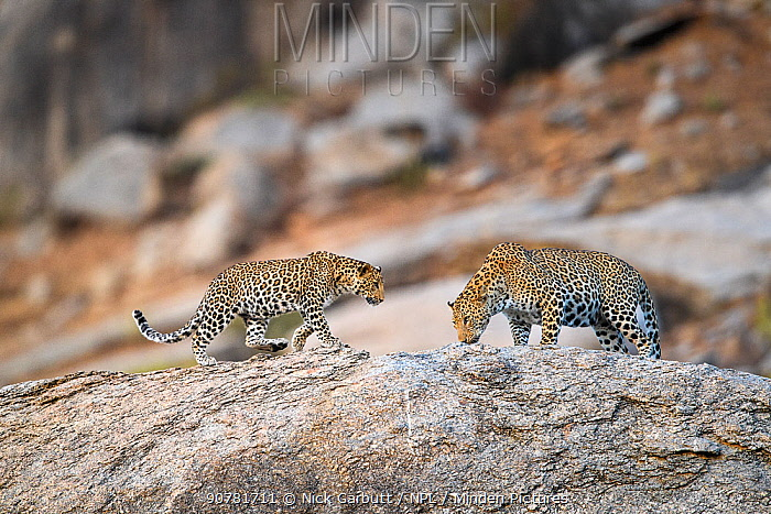 Male leopard (Panthera pardus) with one of its cubs on rocky outcrop. Jawai / Bera in Rajasthan, India.